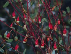 Eucalyptus forrestiana, Kings Park, Perth, WA, 30/12/16 (Russell Cumming) Tags: plant eucalyptus eucalyptusforrestiana myrtaceae kingspark perth westernaustralia