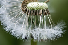 Akène de pissenlit (TAHARFR) Tags: 105f28 macrodreams pissenlit akene fleur couleur colors
