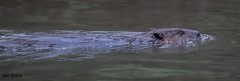 A beaver swims past my location on its way to build a castor pile on a near by bank. (flintframer) Tags: nwr muscatatuck indiana wildlife nature beaver swimming wow dattilo canon eos 7d markii ef600mm 14x