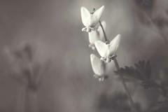 A sweet little wildflower known as Dutchman's Breeches! (jo fields) Tags: nashville wildflower tennessee