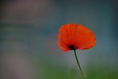 In The Wind (stevenpng) Tags: focusstackingphoto castrovillepoppyhouse beautifulbokeh poppygarden lordhuron d800 nikongp1 nikoncapturenx2