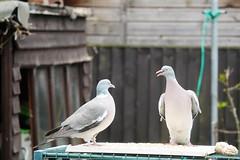 21 April 2017 (6) (AJ Yakstrangler) Tags: yakstrangler pigeon pigeons