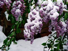 Snow in April. Lilac (R_Ivanova) Tags: nature snow plant spring garden flower flowers sony rivanova риванова цветя сняг пролет lilac люляк