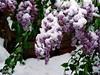 Snow in April. Lilac (R_Ivanova) Tags: nature snow plant spring garden flower flowers sony rivanova риванова цветя сняг пролет lilac люляк