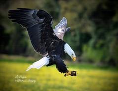 Gorgeous Bald Eagle. (Albatross Imagery) Tags: photo photography flickr instagram birdsinflight beautiful hawkconservancy bird birds raptor raptors birdofprey birdsofprey baldeagle
