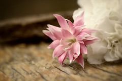 A promise 諾 (Dahai Z) Tags: bartlettillinois bench blur flowers pink spring2017 stylyzedcolor vignette white wood prattswaynewoods forestpreserve dupagecounty