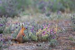 Écureuil Roux (Sciurus Vulgaris) (dulinxavier) Tags: ecureuil roux sciurus vulgaris