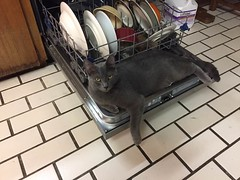 Teddy on the Dishwasher (Philosopher Queen) Tags: teddy cat kitten kitty chat gato graycat bluecat dishwasher funny