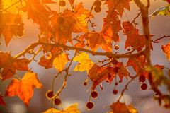 Tree brunch on sun background (CAHKT) Tags: abstract ahorn autumn background beauty big brunch calm calmness contour details down dry dusk hot landscape leafs leaves macro nature nice nobody oak outdoor park plant red round scenery silhouette sun sunbeam sunrise sunset tree trees unfocused yellow