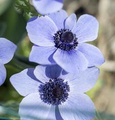 Springtime (nicoletta_raschella) Tags: anemone blue color beautiful flower spring nicolettaraschella nikon helios helios44 outdoor