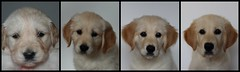 Collage 1,2,3 en 4 months old (Mirretjuh) Tags: growing golden retriever portret pup puppy puppys cute sweet 1 2 3 4 months old pet dog link