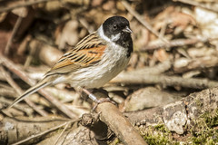 REED BUNTING (_jypictures) Tags: reed bunting reedbunting animalphotography animals animal canon canon7d canonphotography wildlife wildlifephotography wiltshire birdphotography bird birds birdwatching birding birdingphotography birders nature naturephotography