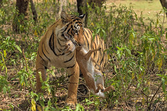 Breakfast (dickysingh) Tags: tiger ranthambore ranthambhorenationalpark india wild wildlife