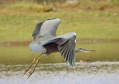 Grey Heron (Bogger3.) Tags: greyheron venuspool inflight longlegs longsharpbeak canon600d tamron150x600lens