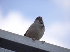 DSC00629 Pardal (familiapratta) Tags: sony dschx100v hx100v iso100 natureza pássaro pássaros aves nature bird birds novaodessa novaodessasp brasil