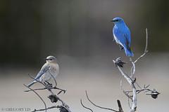 Mountain Bluebird (Gregory Lis) Tags: mountainbluebird sialiacurrucoides kamloops britishcolumbia nikond810 gorylis gregorylis birds