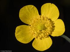 Schönheit der Natur (J.Weyerhäuser) Tags: blitz studio butterblume insekt makro gelb yellow