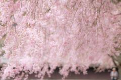 しだれ桜 (mizuk@) Tags: japan mie flower cherryblossom sakura spring park canon 三重 花 公園 桜