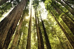 Tiptoeing Amongst Giants (gwendolyn.allsop) Tags: redwoods california trees giant tall green spring sunburst forest earth day life old ancient sun d5200