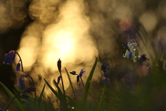A Little Light in the Bluebell Wood (jillyspoon) Tags: bluebells bluebell bluebellwood bokeh silhouette scotland southwestscotland silhouettes wood dark darkness canon canon70d glimmer photography machars dumfriesgalloway dumfriesandgalloway galloway spring seasons forest blue canoneos canon70200