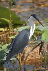 Pied Heron (helmutnc) Tags: g sweetfreedom specanimal hennysanimals dailynaturetnc13