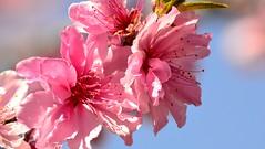 pinkbloomsmacro (KelliMays) Tags: pink flowers blue white flower cherry skies purple peach flowering blueskies pinkflowers peachblossoms floweringtrees cherryblosoms
