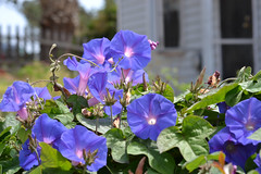 blue morning glory (SHERI..) Tags: infocus highquality