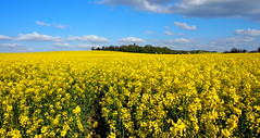 Sea of flowers (Traveller's soul) Tags: flowers cambridge field yellow rape 100 cln