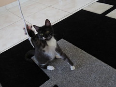 Eustquio Birouduci Moreira Pinheiro (Mrcio Vincius Pinheiro) Tags: cat feline pussy gato felino puss pussycat domesticcat feliscatus gatodomstico eustquio