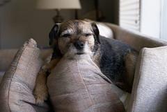 Mmm, perfect! (peter.a.klein (Boulanger-Croissant)) Tags: dog cute sleep adorable pillows sofa cushions borderterrier arrange