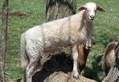 Posing (baalands) Tags: tree rock hair sheep posing lamb ewe