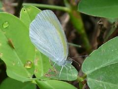 P1020559 BARRED YELLOW--Eurema daira (birder2015 Toronto, Canada) Tags: ecuador barredyellow euremadaira pieridae mariposa lepidoptera