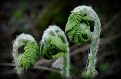Gossip (Dave R Benjamin) Tags: fern green nature leaves outdoors leaf natural grow foliage dew