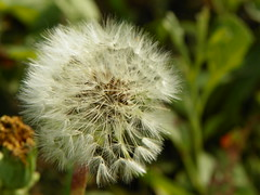 5-1-14 023 (LeeLee's pictures) Tags: 5114 mississippiriver woods nature dandelions yellow flower wildflower weeds makeawish white flyaway