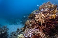 Coral Rock (Martin Flemig) Tags: rock underwater redsea egypt diving scubadiving fels corals tauchen underwaterphotography unterwasser rotesmeer korallen unterwasserfotografie lahamibay todropbox todropboxpixunderwater