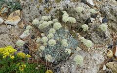 Eriogonum ovalifolium var. nivale 100_0807 (sierrarainshadow) Tags: eriogonum var ovalifolium nivale