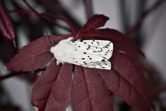 Punkttigerspinner Spilosoma lubricipeda (Eivind Nielsen) Tags: lepidoptera spilosoma lubricipeda punkttigerspinner