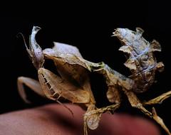 Idolomantis diabolica, 1.25-inch L3 (_papilio) Tags: macro canon mantis invertebrate canonmpe65mm papilio mantid arthropod 6d diabolica idolomantis