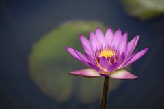 Water lily (ddsnet) Tags: plant flower waterlily sony hsinchu taiwan 99   aquaticplants  slt       sinpu hsinpu  lily water      nymphaeatetragona    plants singlelenstranslucent aquatic 99v