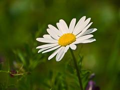 Oxeye Daisy (niloc's pic's) Tags: white flower lumix panasonic daisy oxeyedaisy leucanthemumvulgare dmcg2