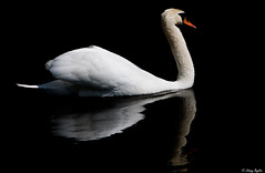 Swan on black (WeeBaldMan) Tags: uk light shadow wild england white reflection swan fowl ornithology sigma150500