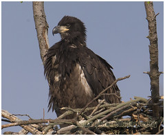Bald Eaglet NJ shore (Mike Black photography) Tags: life new wild black bird mike nature canon lens outdoors big eagle pair year birding feathers bald nj aves raptor shore jersey species endangered f56 dslr eagles nesting 800mm