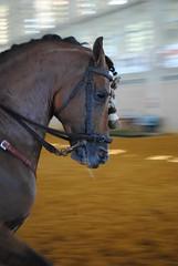 Hermoso ejemplar en la Feria del Caballo de Jerez de la Frontera