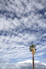 California fan palm (Washingtonia filifera); Oasis of Mara (Joshua Tree National Park) Tags: california sky clouds palms fan nationalpark joshuatree palm oasis joshuatreenationalpark twentynine washingtoniafilifera oasisofmara