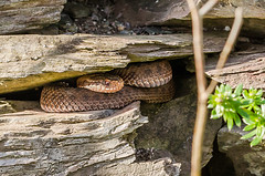 Young Adder - Viper berus (Matchman Devon) Tags: young viper adder berus