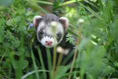 Jungle Ferret (eyriel) Tags: cute nature grass animal mammal ferret humor wildflowers