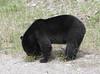Black Bear  1876 (robenglish64) Tags: blackbear