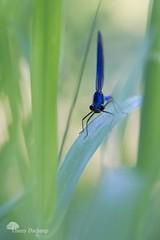 L'encrier (photosenvrac) Tags: portrait macro bokeh pastel insecte libellule caloptryx thierryduchamp