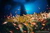 explosión de color en La Plataforma (Jaime Franch) Tags: diving formentera buceo baleares parquenatural laplataforma reyezuelo tokinaatx107dxfisheyeaf1017mmf3545 apogonimberbis mediterráneo parquenaturaldesessalinesdeibizayformentera
