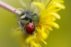 Dandelion (xx lolly xx) Tags: dandelion ladybird ladybug canonef50mm18 raynoxdcr250 canoneos7d lollytwigg